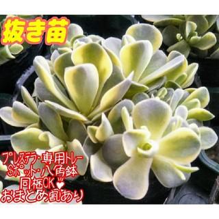 【抜き苗】子持ち蓮華錦 多肉植物 オロスタキス(その他)