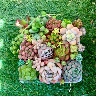 多肉植物カット苗☆ストロベリーアイス、バイオレットクィーン、ピンクラウル入り(その他)