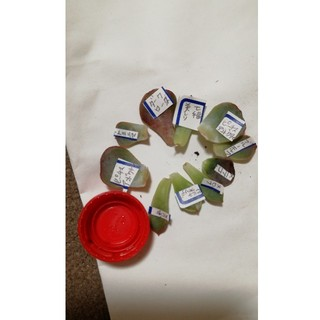 多肉植物韓国苗の葉刺しセット10枚(その他)