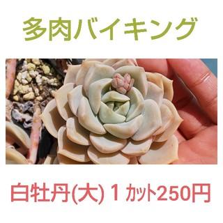 ★白牡丹(大) カット苗 多肉植物(その他)