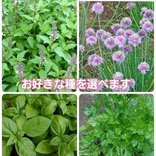 無農薬ハーブの種を2種類 200粒以上(野菜)