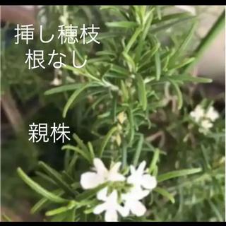 希少(ᵔᴥᵔ)♡白 ローズマリー ホワイトガーデン 挿し穂枝(ハーブ 料理(その他)