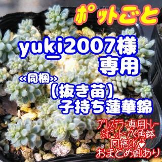 【yu_ki2007様 専用】レア♪【ポットごと】クリーム玉蛋白 他 (その他)