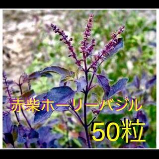 希少赤柴ホーリーバジルの種(野菜)