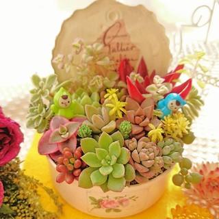 多肉植物 小人達の多肉の森 babyピンクリメ鉢 ナチュラルミニGARDEN◎(その他)
