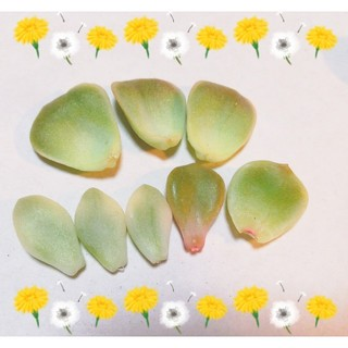 ★葉挿し4品種★多肉植物★(その他)
