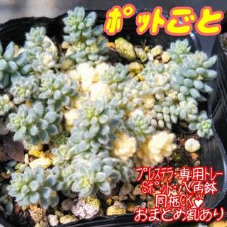 レア♪【ハゲにくいポットごと】クリーム玉蛋白 多肉植物 セダム(その他)