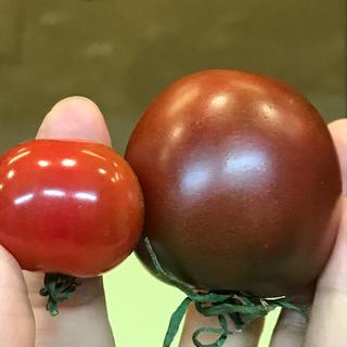 黒トマト2種ミックスの種子30粒  赤水菜の種子か山クラゲの種子プレゼント中(野菜)