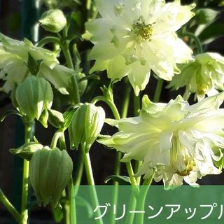 宿根草 西洋オダマキ グリーン(その他)
