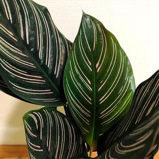 観葉植物 オルナタサンデリアーナ(その他)