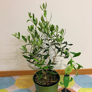 観葉植物 オリーブの木②(その他)