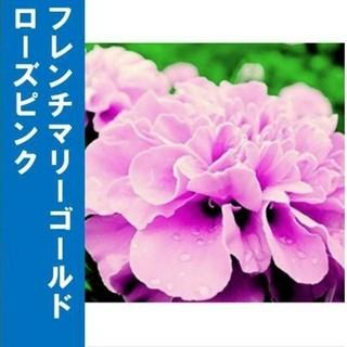 【フレンチマリーゴールド】ローズピンク 種子30粒(その他)