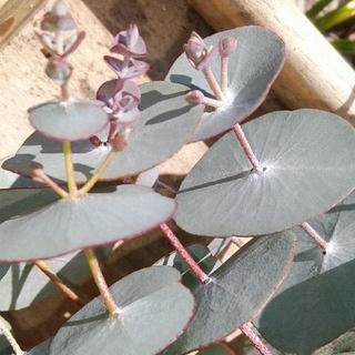 ちょっと珍しいまーるい葉っぱのユーカリ(ドライフラワー)