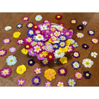 お花屋さんが作った春色プリムラのドライフラワー山盛り70冠‼️(ドライフラワー)