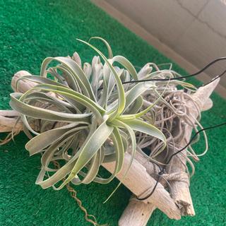 カクティコラロングフォーム ハンギング付き 観葉植物(その他)