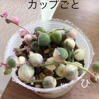 グリーンネックレス 班入りひ ピンク カップごと(その他)