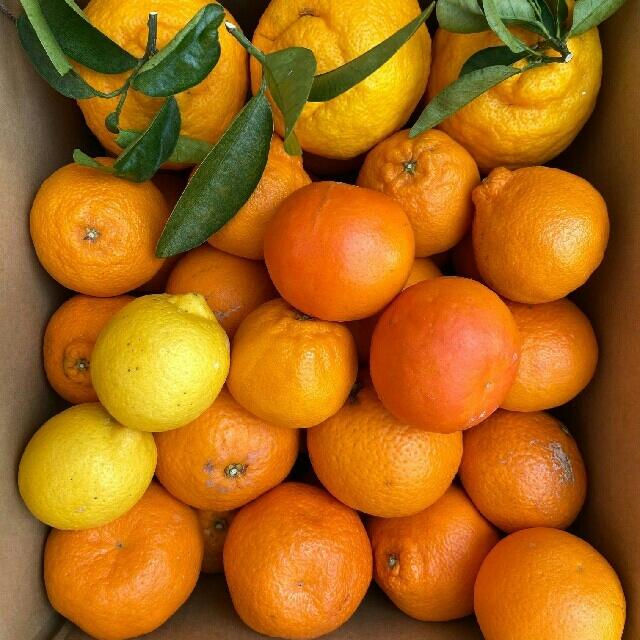 和歌山有田産 柑橘詰め合わせ 食品/飲料/酒の食品(フルーツ)の商品写真