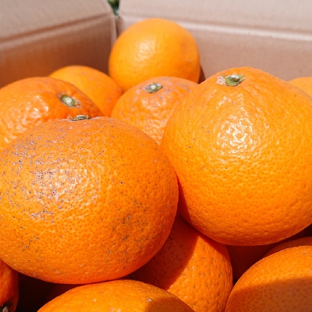 清見オレンジ 7kg 4L 大玉 食品/飲料/酒の食品(フルーツ)の商品写真