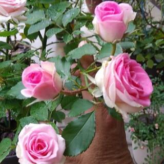 専用ページです。薔薇🌹『ミミエデン』🌹挿し木苗(その他)