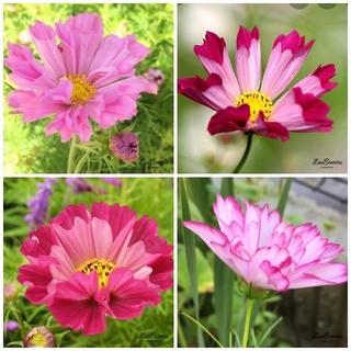 ♥春蒔き花の種  花の種  コスモスの種  コスモスシーシェル 50粒 (その他)