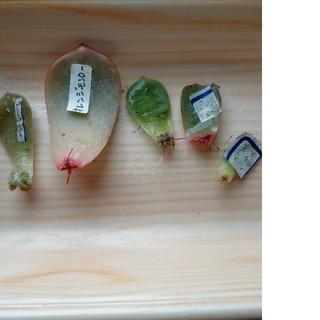 多肉植物葉刺し(その他)