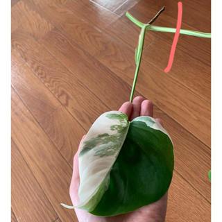 斑入り●モンステラ●苗●観葉植物(プランター)