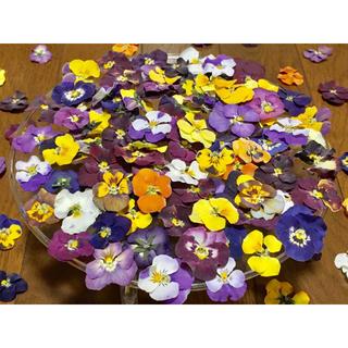 3日間だけのお買い得品‼️お花屋さんが作ったビオラのドライ超山盛り100冠‼️(ドライフラワー)