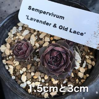 blossom様 センペルビウム  4種(その他)