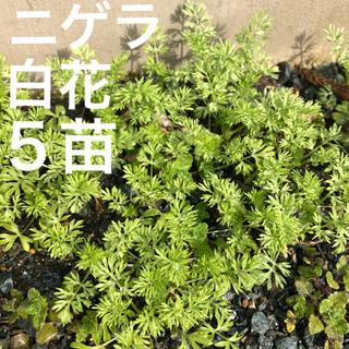 ベビーニゲラ*白花*抜き苗 5〜10本 無農薬(その他)