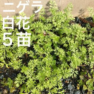 ニゲラ*白花*抜き苗 5〜10本 無農薬 (その他)