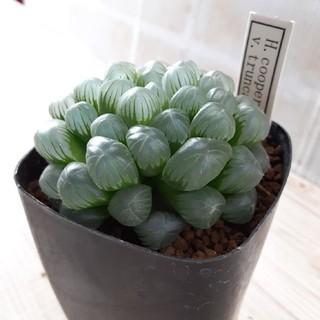 多肉植物 ハオルチア トゥルンカータ(その他)
