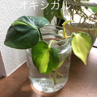 オキシカル レア苗 班入り(その他)