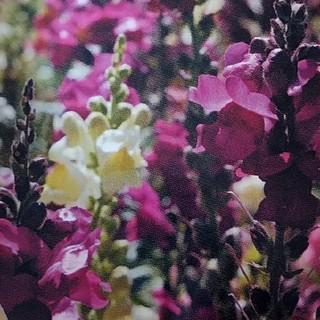 エディブルフラワー キンギョソウ 有機種子(プランター)
