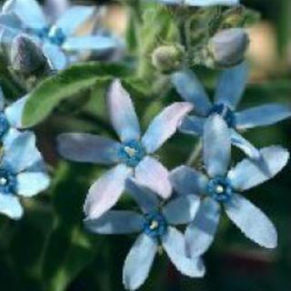 オキシペタラムの種 約50粒(その他)