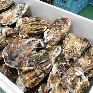 南三陸志津川産 特大殻牡蠣Lサイズ20個 漁師直送 全国一律送料込み