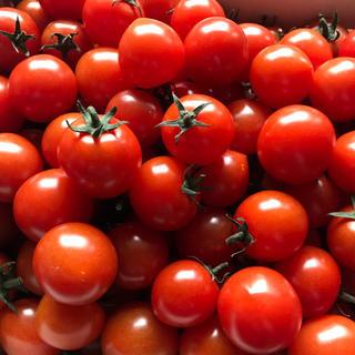 採れたて!ミニトマト 1キロ