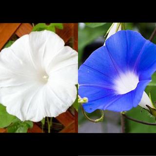 朝顔の種 2色セット(その他)