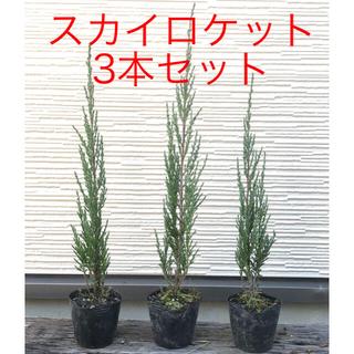 目隠しに⭐️期間限定お値引中 コニファー スカイロケット 3本セット 苗木(その他)