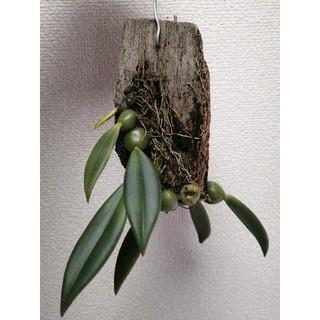 洋ラン trias densiflora トリアス デンシフローラ(その他)