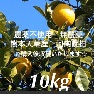 農薬不使用 無農薬みかん 河内晩柑 10kg  採れたて 木成り 熊本天草産