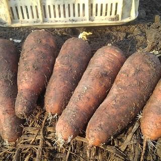 越冬貯蔵 ふらのニンジン(野菜)
