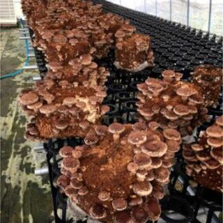 国産 椎茸 シイタケ 菌床 12個入り 入札前に送料相談下さい。(野菜)