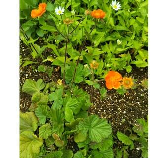 オレンジ🍊色の花の苗(その他)