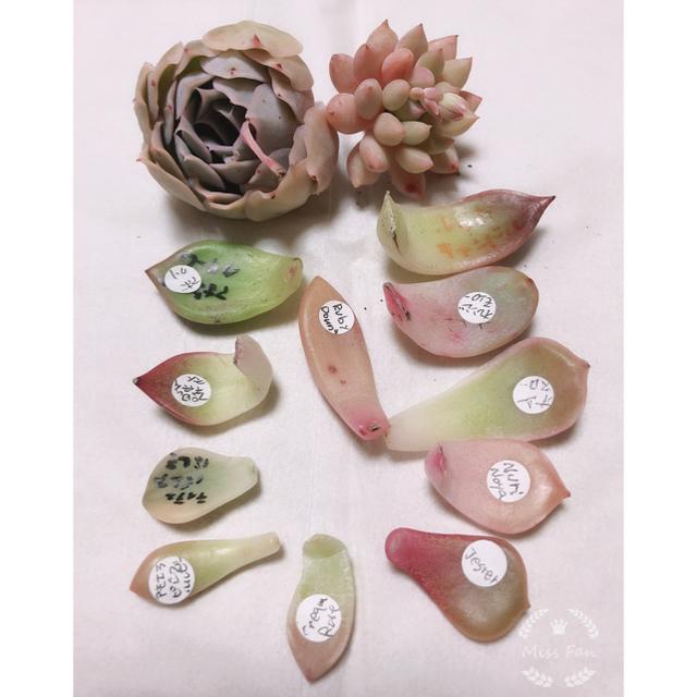 チビーS様専用 Wolly Wolly、Crown Ball、葉挿し ハンドメイドのフラワー/ガーデン(その他)の商品写真