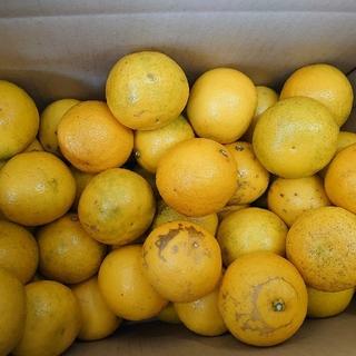 地元果物屋おすすめ高知宿毛産すくも小夏Sサイズ5キロ/日向夏/味良い※一部送料込