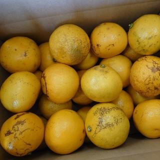 地元果物屋おすすめ高知宿毛産すくも小夏Sサイズ2.5キロ/日向夏※一部送料込み