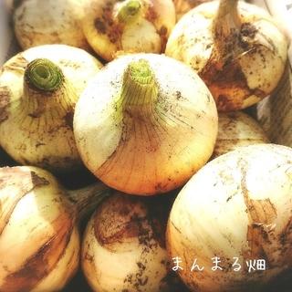 新玉ねぎ 無農薬  60cm箱梱包  送料無料!(野菜)