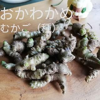 オカワカメ ムカゴ (50個以上は入ります)(野菜)