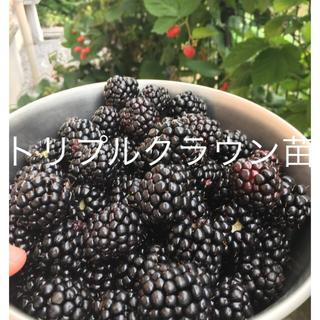 ブラックベリー トリプルクラウン苗(その他)