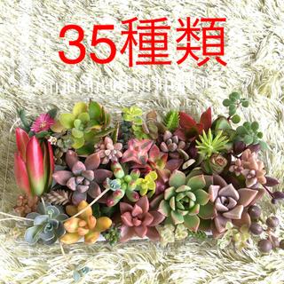 多肉植物*カラフルカット苗*35種類(その他)